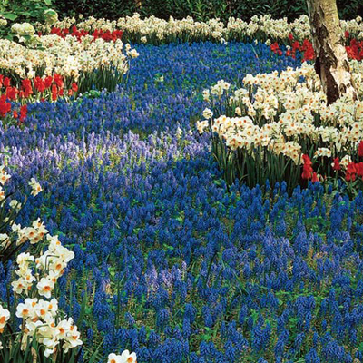 Fill Your Garden E With Color You Can Get 100 For Only 19 99 At Http Www Springhillnursery Product Muscari Naturalizing Hyacinth Bulbs